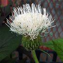 ノアザミ(野薊):シロバナノアザミ(白花野薊)3〜3.5号ポット