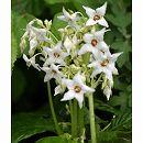 イワタバコ:白花2.5号ポット