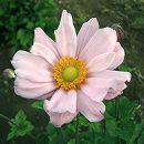 シュウメイギク(秋明菊):桃花八重3〜3.5号ポット2株セット