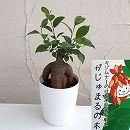 ガジュマル(多幸の木)4号鉢植え