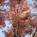 チャンチン:フラミンゴ樹高0.9m根巻き