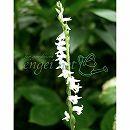 ネジバナ(モジズリ):白花モジズリ2.5号ポット(国産)