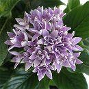 八重咲きペンタス:ライカブルー3.5号ポット