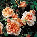 ギヨーローズ:エリザベス・スチュワート大苗角鉢植え
