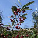 アロニア:アルブティフォリア株立ち樹高1〜1.5m根巻きまたはポット入り