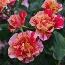 [17年5月中旬予約]デルバールローズ:エドガー・ドガ新苗4号鉢植え