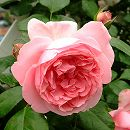 [17年5月中旬予約]デルバールローズ:コンテス・ドゥ・セギュール新苗4号鉢植え