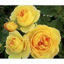 [17年5月中旬予約]デルバールローズ:カスクドール新苗4号鉢植え