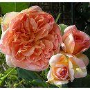 [17年5月中旬予約]デルバールローズ:パピィ・デルバール新苗4号鉢植え