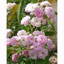 つるバラ:ローラ ダボー大苗6号鉢植え