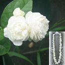 ハワイアンレイフラワー:ホワイトローズピカケ八重咲き5号鉢植え(マツリカ)