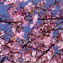 桜:紅山桜(ベニヤマザクラ)接木苗4〜5号ポット