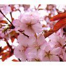 桜:静匂(シズカニオイ)接木苗4〜5号ポット