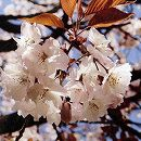 [淡紅色八重咲・4月中旬咲]桜:手弱女接木苗4〜5号ポット