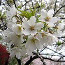 [一重白花・4月上旬開花・桜餅の葉のサクラ]桜:大島桜(オオシマザクラ)接木苗4〜5号ポット