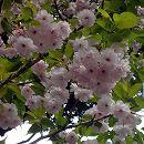 [淡紅色から白に変化する八重強健種・4月中下旬咲き]桜:一葉(イチヨウ)接木苗4〜5号ポット