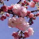 桜:福禄寿(フクロクジュ)接木苗4〜5号ポット