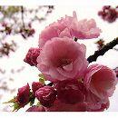 桜:八重紅虎の尾(ヤエベニトラノオ)接木苗4〜5号ポット