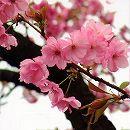 桜:紅豊(ベニユタカ)接木苗4〜5号ポット