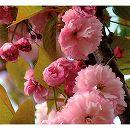 桜:紅時雨(ベニシグレ) 接木苗4〜5号ポット