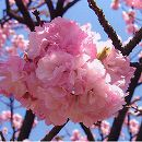 [淡紅色八重咲 4月中〜下旬開花]桜:楊貴妃(ヨウキヒ)接木苗4〜5号ポット