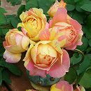 [17年5月中旬予約]デルバールローズ:ポール・セザンヌ新苗4号鉢植え