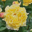 [17年5月中旬予約]デルバールローズ:フランス・アンフォ新苗4号鉢植え