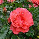 デルバールローズ:グリマルディ新苗4号鉢植え