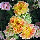 [17年5月中旬予約]デルバールローズ:ピュル・カプリス新苗4号鉢植え