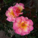 [17年5月中旬予約]デルバールローズ:オリヴィエ・ローランジェ新苗4号鉢植え