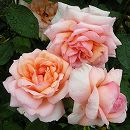 [17年5月中旬予約]デルバールローズ:ベル・ドゥ・セニョール新苗4号鉢植え