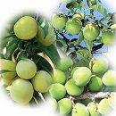 梅苗木3種3本セット:南高・白加賀・稲積