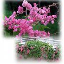 [17年4月中旬予約]アサヒカズラ(クイーンネックレス)ピンク 3号ポット