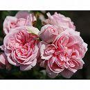 [17年5月中旬予約]つるバラ:シンデレラ新苗