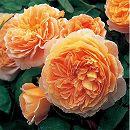 イングリッシュローズ:クラウン・プリンセス・マルガリータ大苗5号角鉢植え