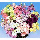 トルコキキョウ:八重咲き花色ミックス3号ポット28株セット
