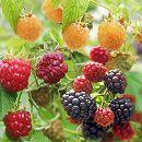 木いちごの苗人気3種セット(ボイソンベリー・インディアンサマー・ファールゴールド)