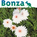 [17年2月中旬予約]ボンザマーガレット:ウルル咲き(アネモネ咲き)キャラメルホワイト3.5号ポット
