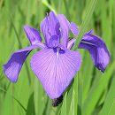 [17年3月中旬予約]水生植物:カキツバタ(杜若):四季咲き3号ポット
