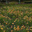 [耐暑性春〜夏まき1年草のタネ 500平米分]カネコミックスフラワースプリングタイプ450g