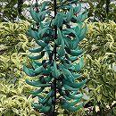 [6月上旬頃〜]熱帯の植物:ヒスイカズラ(ジェードバイン)3号ポット