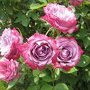 ポットローズ:ミニバラ・ブルーオベーション4号プラ鉢植え
