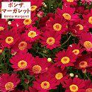 ボンザマーガレット:リーフ咲き(一重咲き)チェリー3.5号ポット