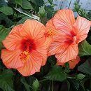 ハイビスカス:サニーシティー・オレンジ系5号鉢植え
