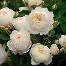 イングリッシュローズ:クレア・オースチン大苗5号角鉢植え