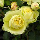 [17年5月中旬予約]四季咲中輪バラ:クリーミーエデン新苗