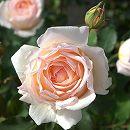 四季咲中輪バラ:薫乃(かおるの)新苗