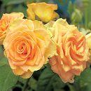[17年5月中旬予約]つるバラ:エメラルド アイル新苗