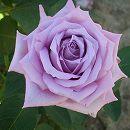 デルバールローズ:マミー・ブルー大苗6号角鉢植え