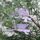 ウエストリンギア:緑葉紫花5号ポット